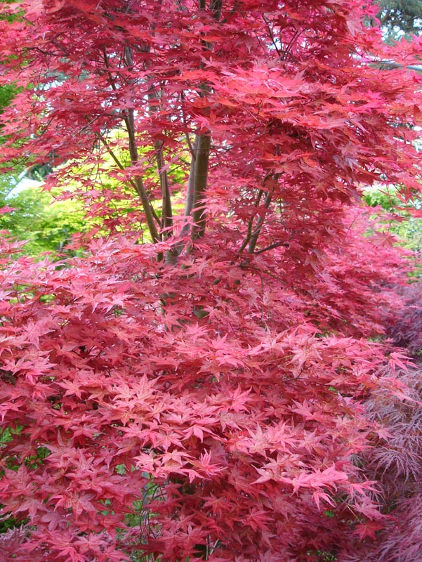 Gallery Japanese Maples And Acers Acer Palmatum Nursery